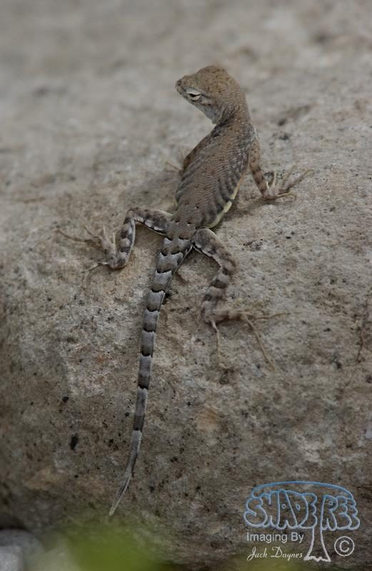 Earless Lizard - Holbrookia maculata