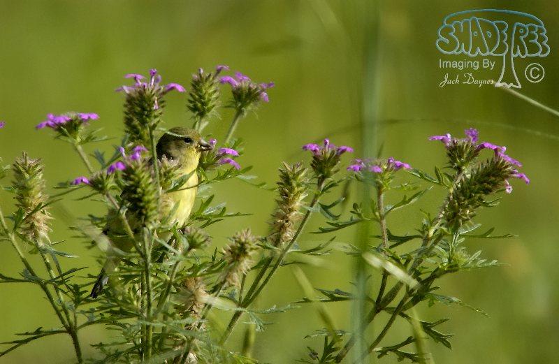 Lesser Goldfinch - Verbascum thapsus