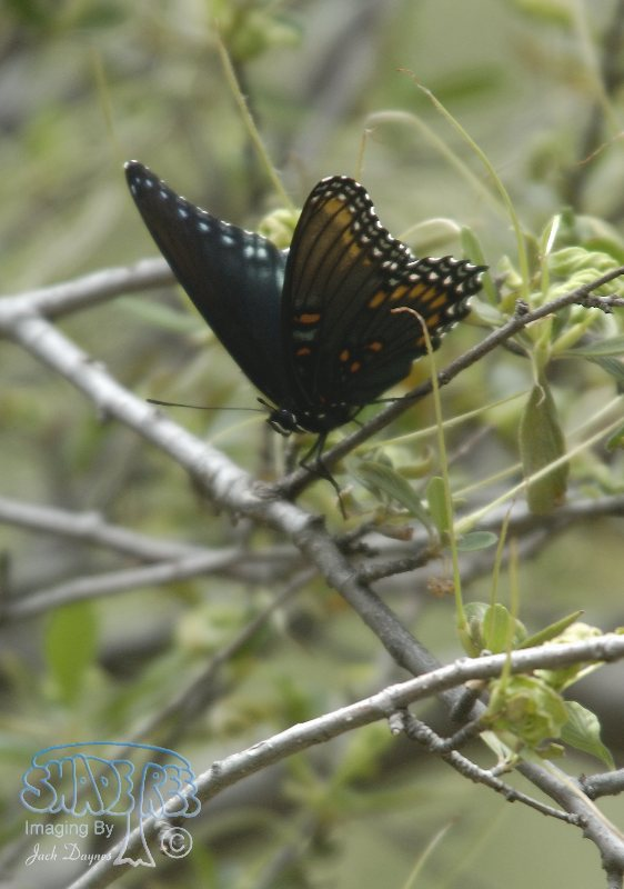 Red-Spotted Purple - Basilarchia arthemis