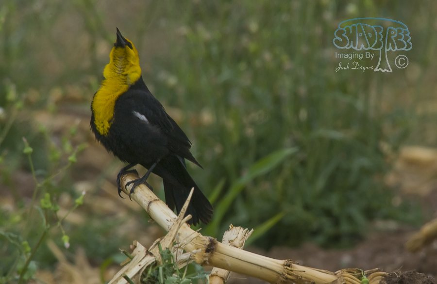 Yellow-Headed Blackbird - Xanthocephalus xanthocephalus