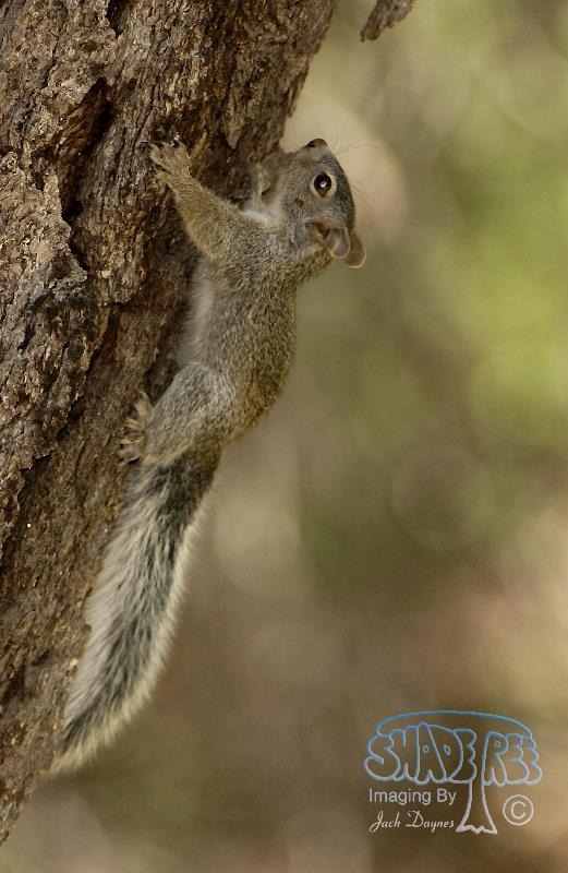 Arizona Gray Squirrel - Sciurus arizonensis