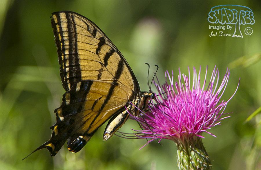 Western Tiger Swallowtail - Papilio rutulus