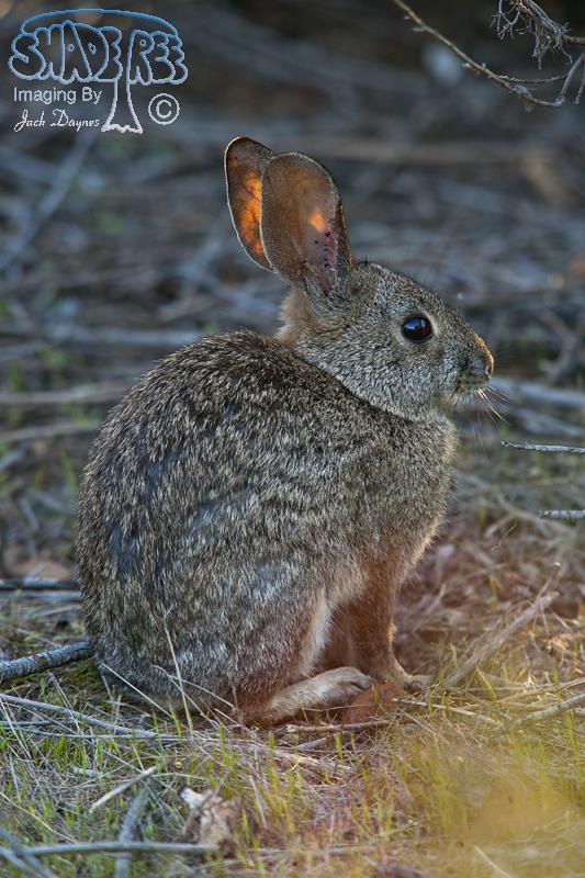 Brush Rabbit - Sylvilagus bachmani