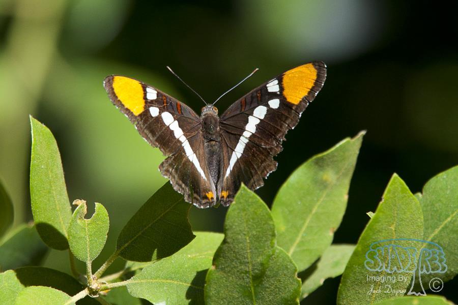 California Sister - Adelpha bredowii