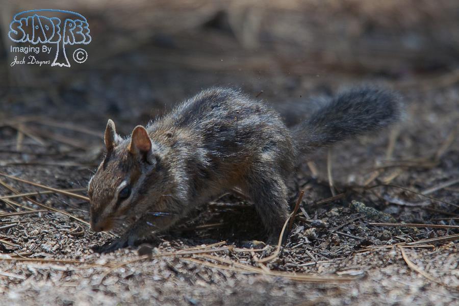 California Chipmunk - Neotamias obscurus