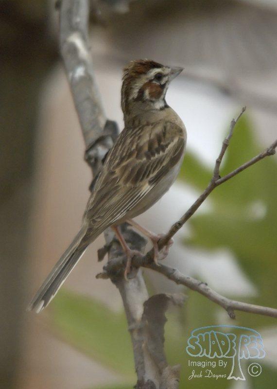 Lark Sparrow - Chondestes grammacus