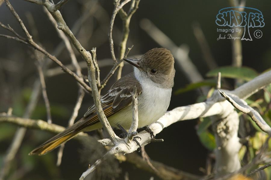 Ash-Throated Flycatcher - Myiarchus cinerascens