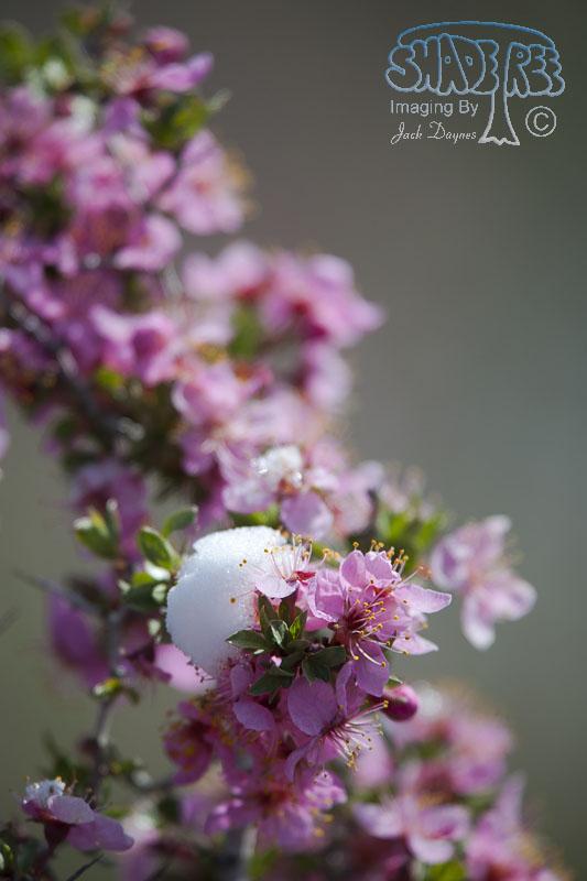 Desert Peach - Prunus andersonii