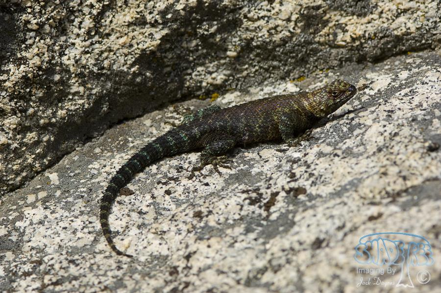 Granite Spiny Lizard - Sceloporus orcutti