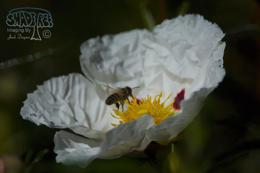 Prickly Poppy - Argemone munita