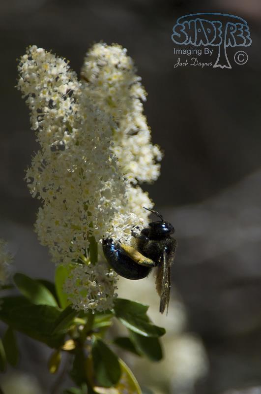 Snowflurry Ceanothus - Ceanothus thyrsiflorus