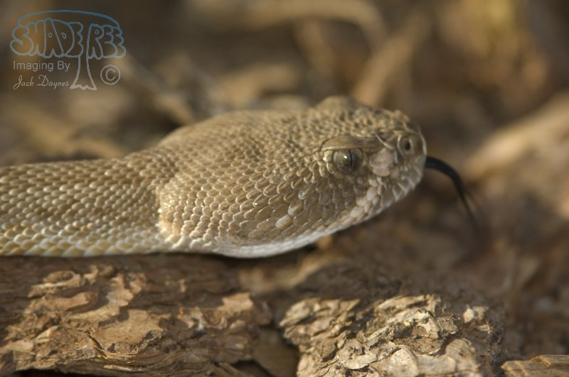 Red Diamond Rattlesnake - Crotalus ruber