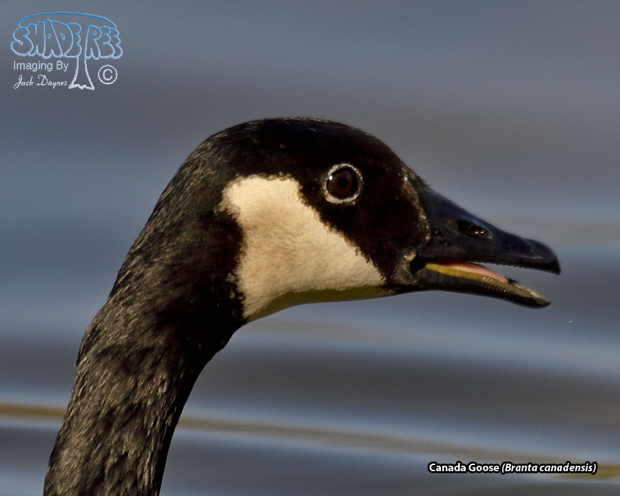 Canada Goose - Branta canadensis;Canada Goose;Anatidae;Canada-Geese;CanadaGoose;Canada-Goose;Geese;Goose;Waterfowl;