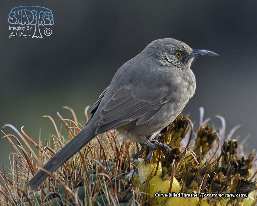 Curve-Billed Thrasher - Toxostoma curvirostre