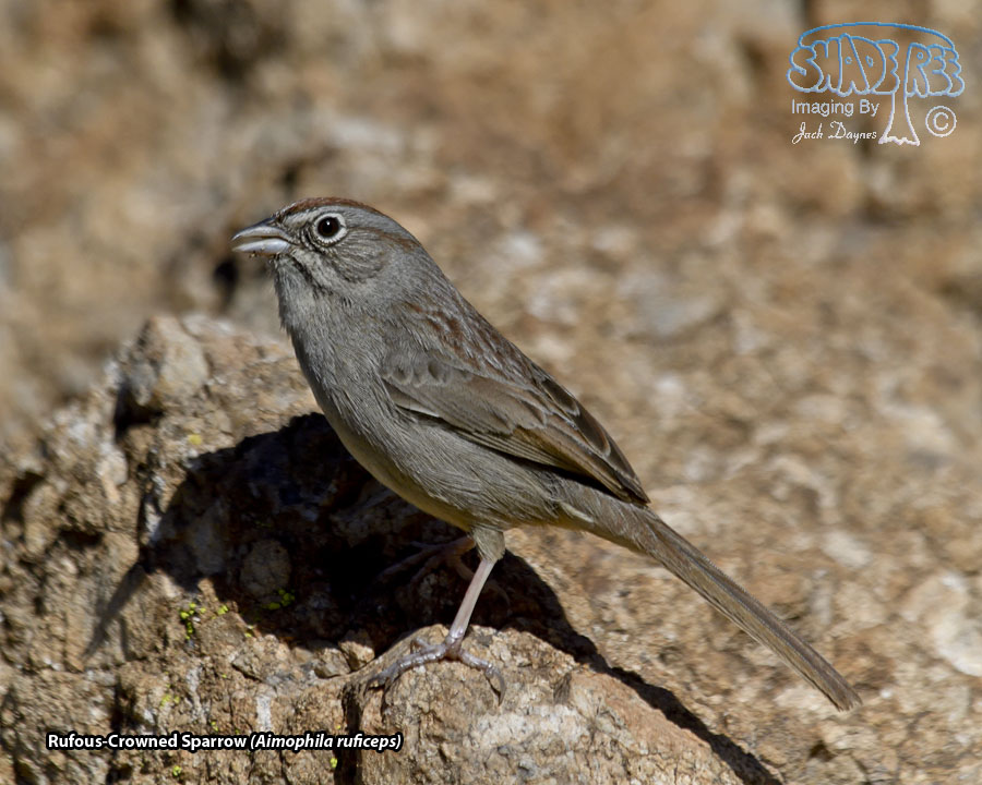 Rufous-Crowned Sparrow - Aimophila ruficeps