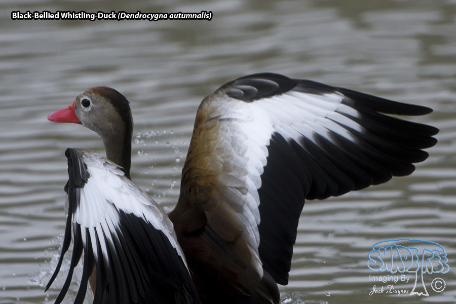 Black-Bellied Whistling-Duck - Dendrocygna autumnalis