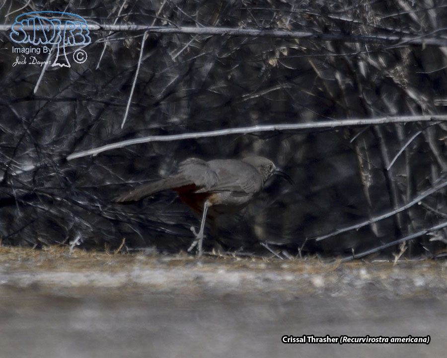 Crissal Thrasher - Recurvirostra americana