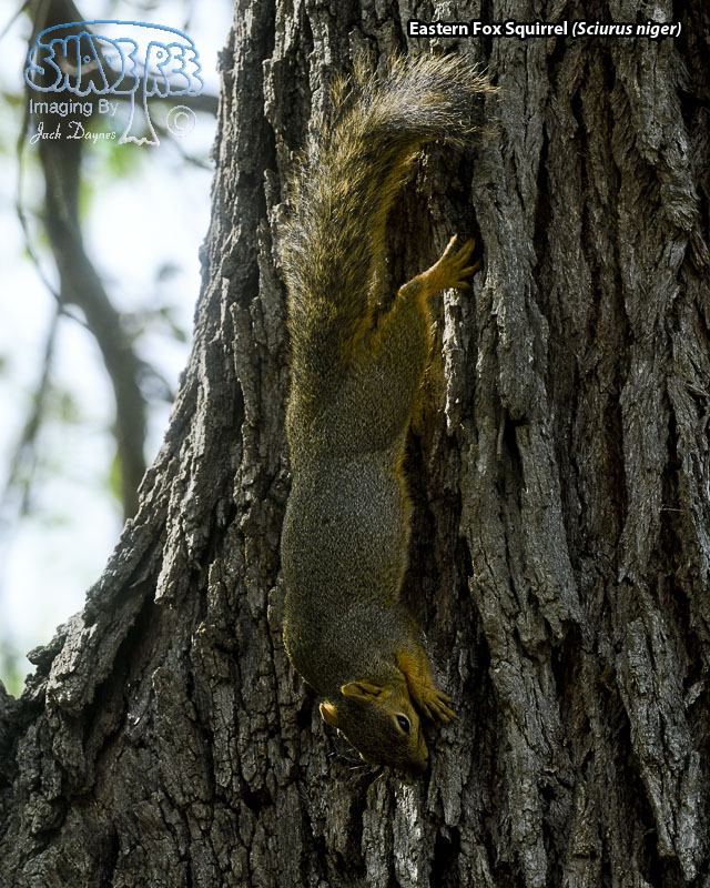 Eastern Fox Squirrel - Sciurus niger
