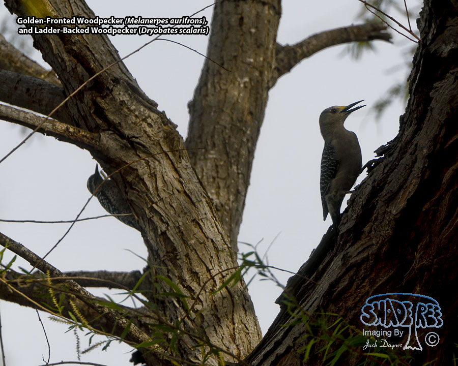 Golden-Fronted and Ladderbacked Woodpeckers - Melanerpes aurifrons