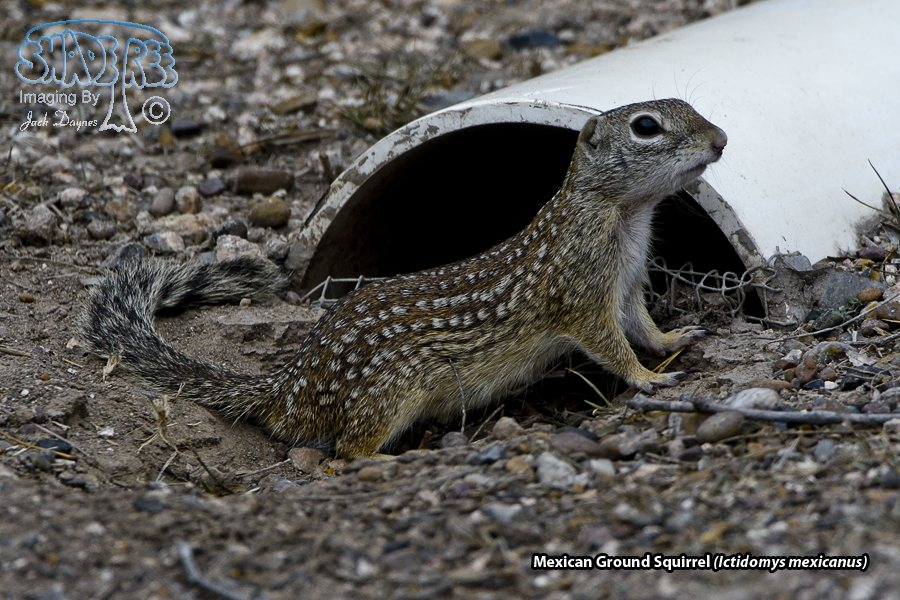 Mexican Ground Squirrel - Ictidomys mexicanus