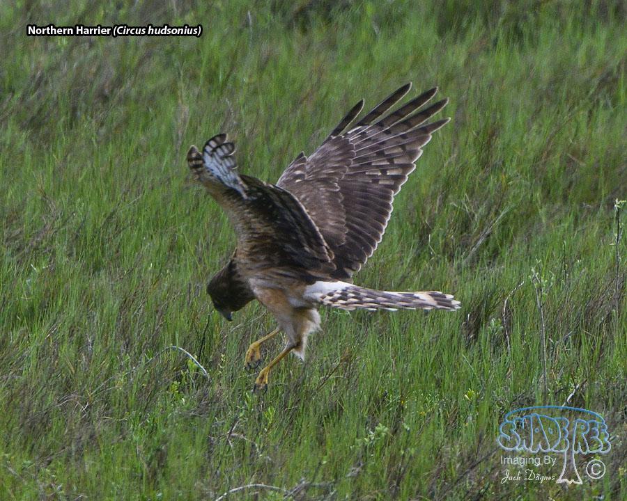 Northern Harrier - Circus hudsonius