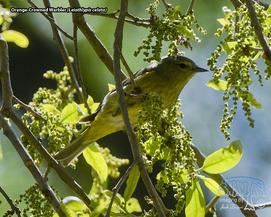 Orange-Crowned Warbler - Leiothlypis celata