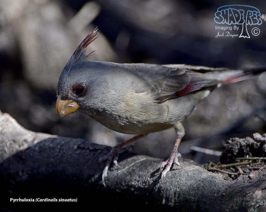 Pyrrhuloxia - Cardinalis sinuatus