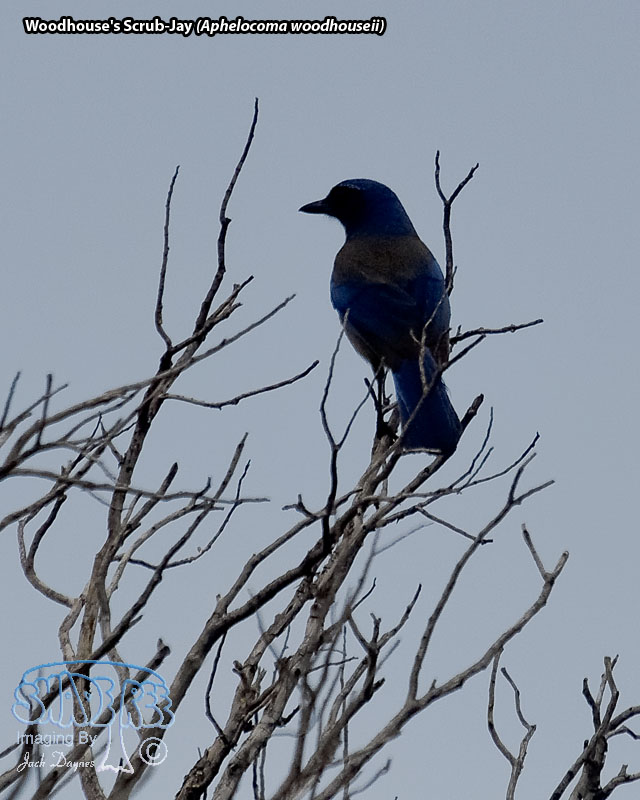 Woodhouse's Scrub-Jay - Aphelocoma woodhouseii