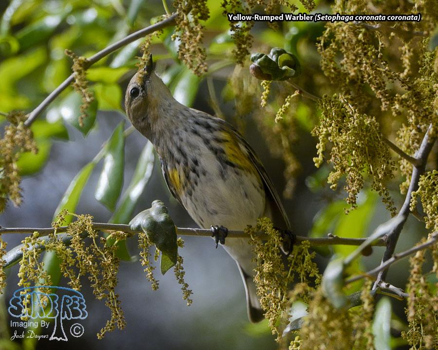 Yellow-Rumped Warbler - Setophaga coronata coronata