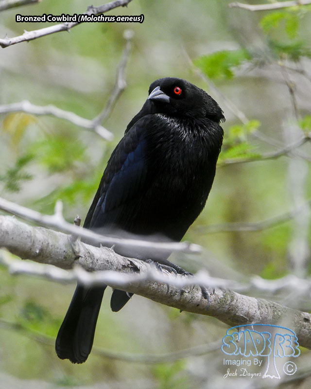 Bronzed Cowbird - Molothrus aeneus