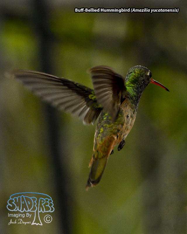 Buff-Bellied Hummingbird - Amazilia yucatanensis