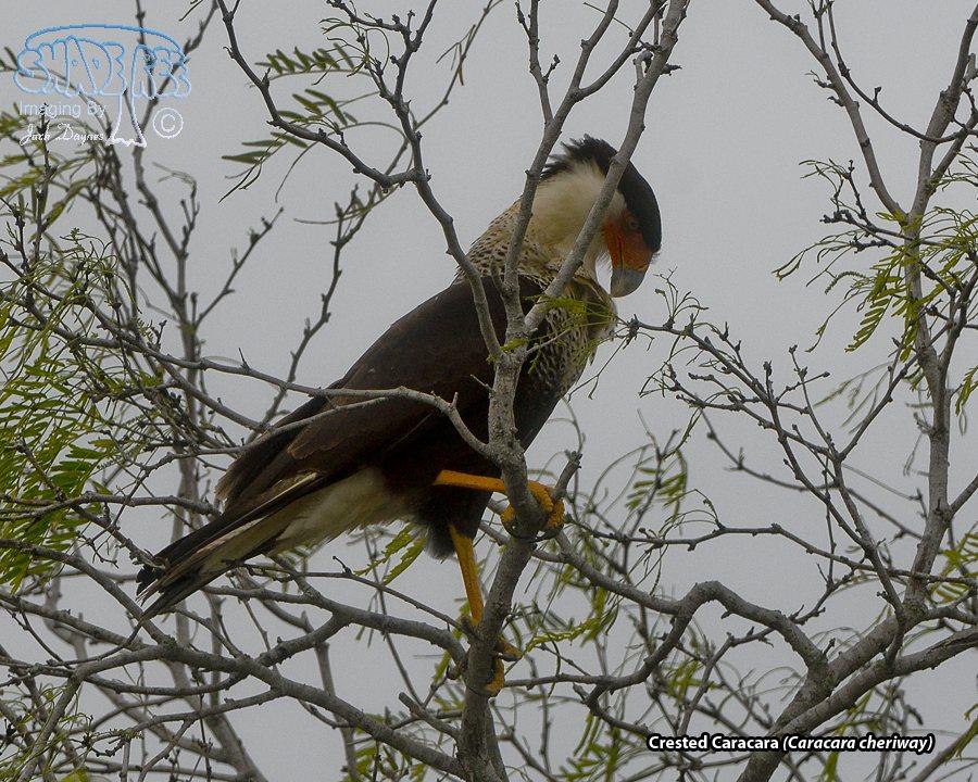Crested Caracara - Caracara cheriway