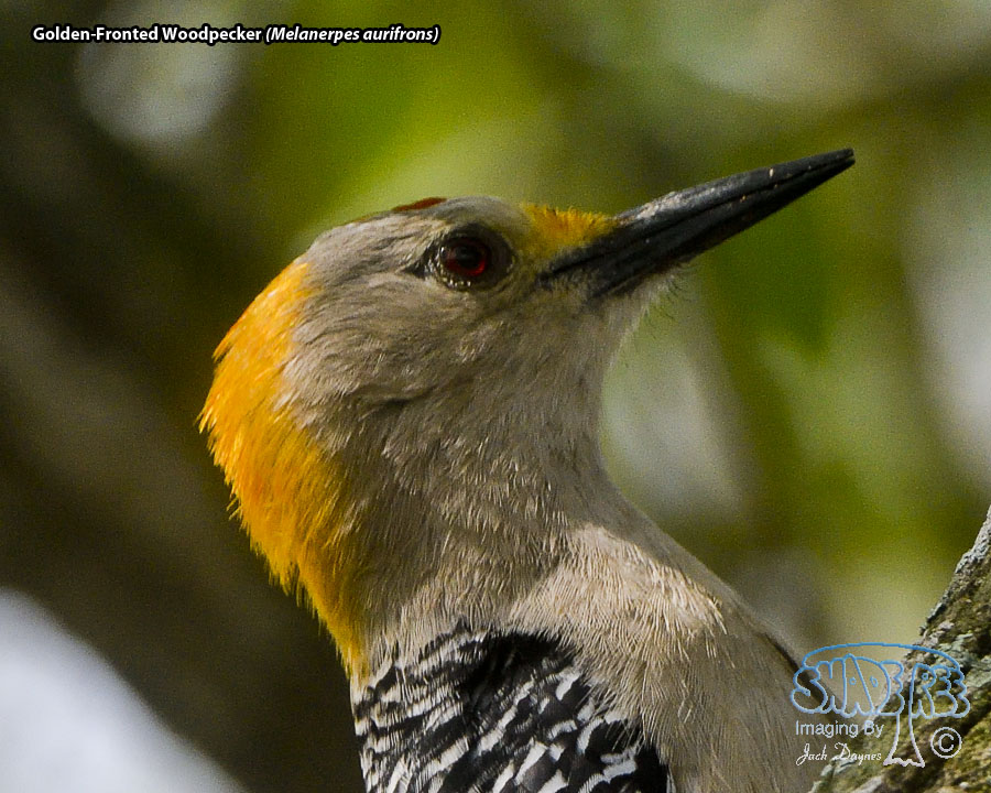 Golden-Fronted Woodpecker - Melanerpes aurifrons
