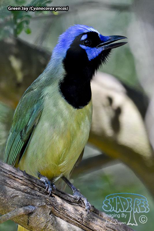 Green Jay - Cyanocorax yncas