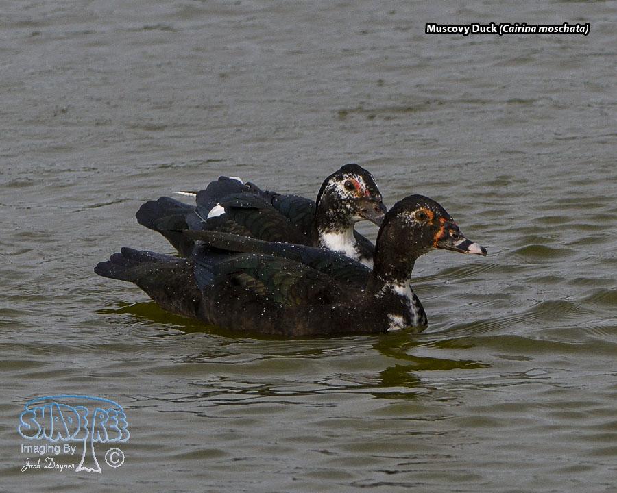 Muscovy Duck - Cairina moschata