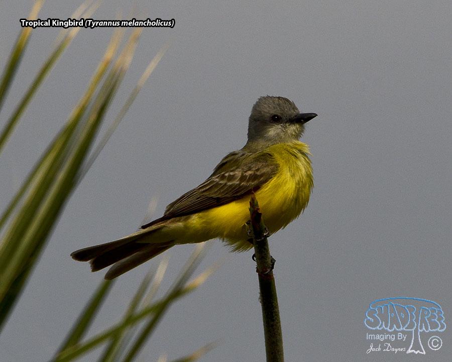 Tropical Kingbird - Tyrannus melancholicus