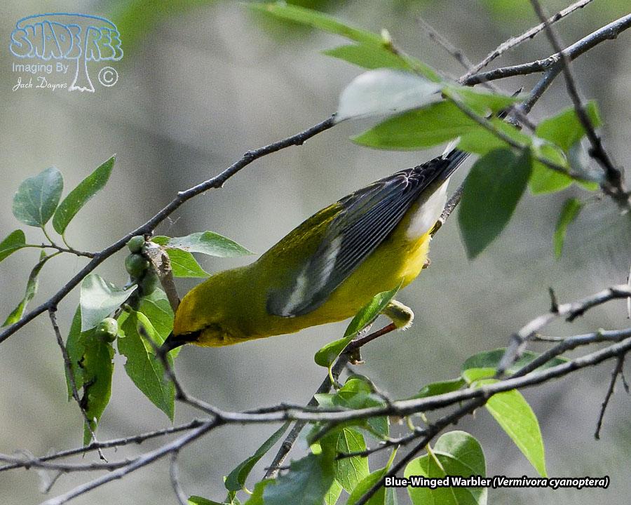 Blue-Winged Warbler - Vermivora cyanoptera