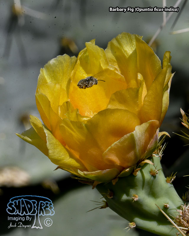 Barbary Fig - Opuntia ficus-indica