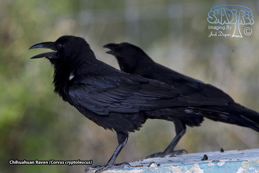 Chihuahuan Raven - Corvus cryptoleucus