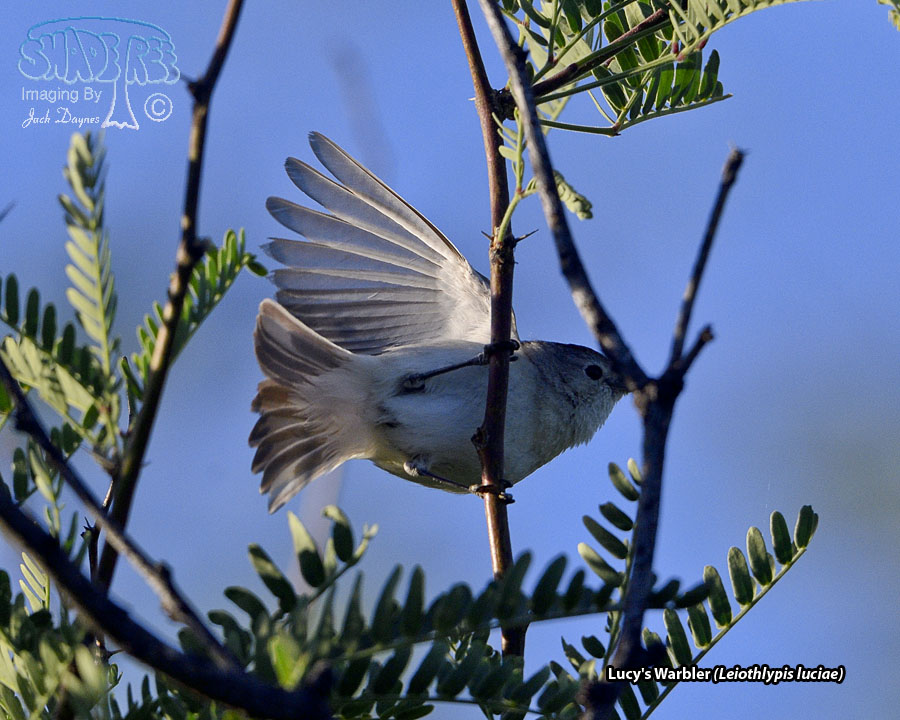 Lucy's Warbler - Leiothlypis luciae