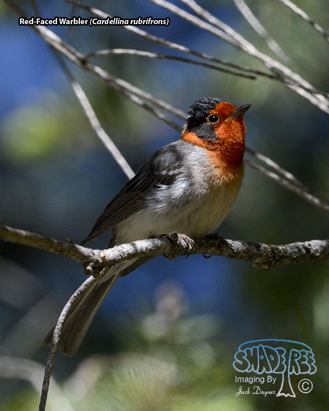 Red-Faced Warbler - Cardellina rubrifrons