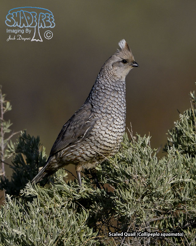 Scaled Quail - Callipepla squamata