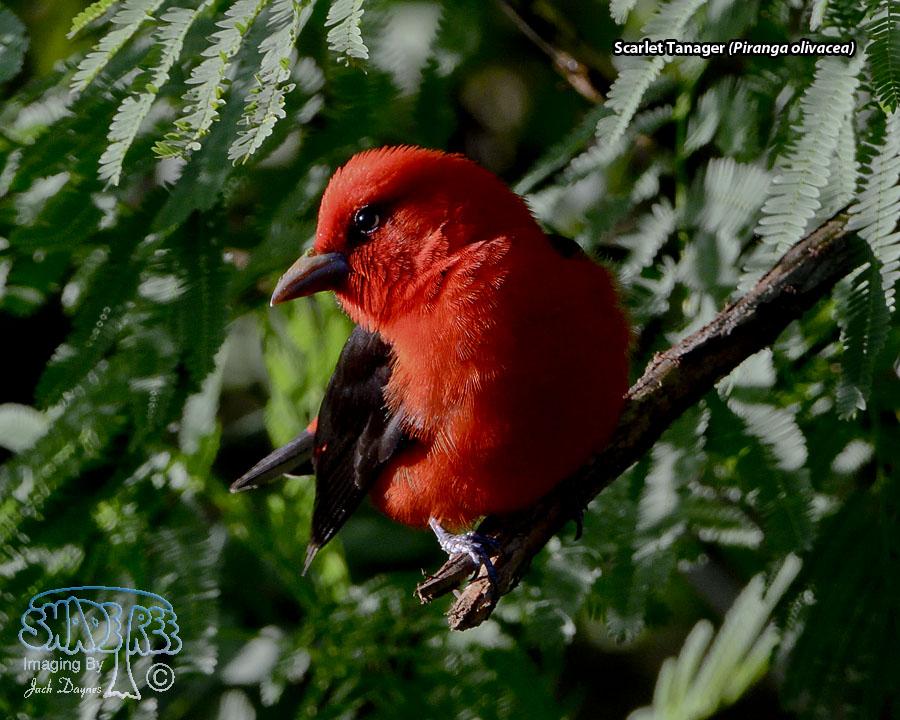 Scarlet Tanager - Piranga olivacea