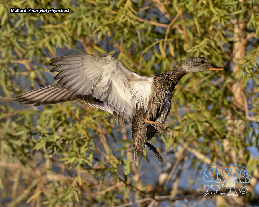 Mallard - Anas platyrhynchos