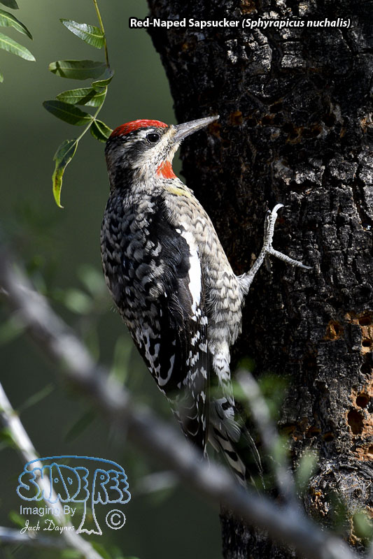 Red-Naped Sapsucker - Sphyrapicus nuchalis