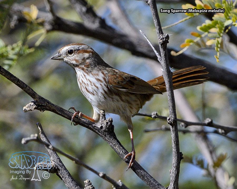 Song Sparrow - Melospiza melodia