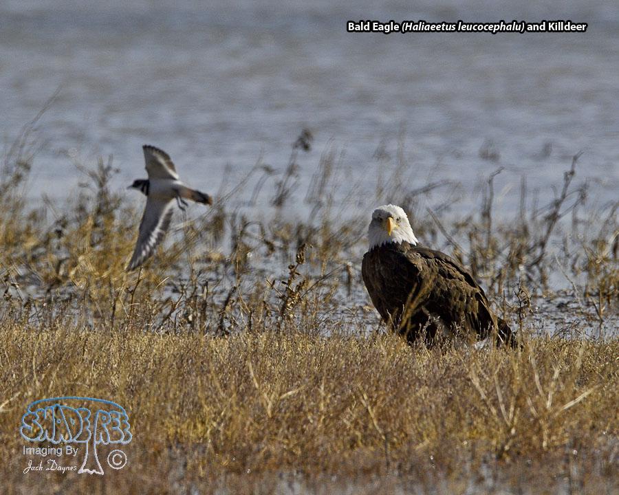 Bald Eagle - Haliaeetus leucocephalu