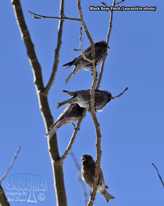 Black Rosy-Finch - Leucosticte atrata
