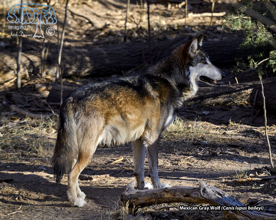 Mexican Gray Wolf - Canis lupus baileyi
