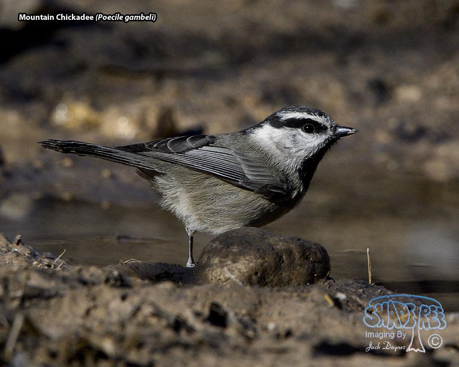 Mountain Chickadee - Poecile gambeli